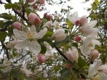 fiore di melo (7)