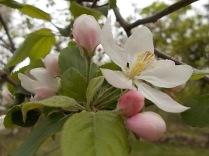 fiore di melo (8)