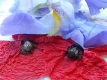 giaggiolo e papavero (3)