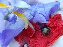 giaggiolo e papavero (5)