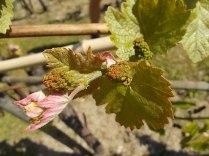 neonata di uva fragola (10)