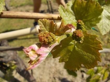 neonata di uva fragola (11)
