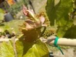 neonata di uva fragola (12)