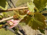 neonata di uva fragola (13)