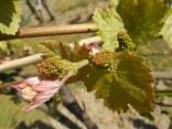 neonata di uva fragola (14)