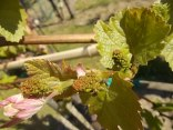 neonata di uva fragola (15)