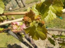neonata di uva fragola (3)