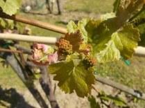 neonata di uva fragola (4)
