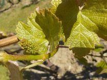 neonata di uva fragola (9)