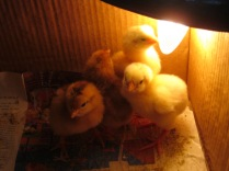 pulcini al caldo di una lampadina (2)