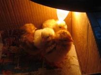 pulcini al caldo di una lampadina (3)