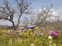 quercia secolare anemoni vertine (3)