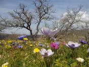 quercia secolare anemoni vertine (4)