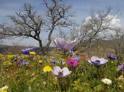 quercia secolare anemoni vertine (5)