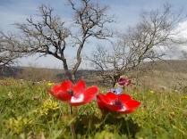 quercia secolare anemoni vertine (6)