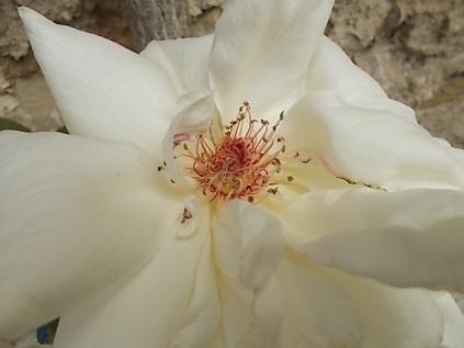 rosa bianca (1)
