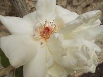 rosa bianca (2)