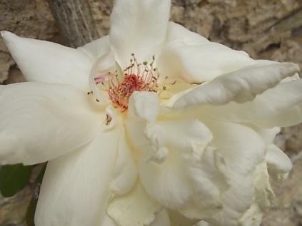 rosa bianca (3)