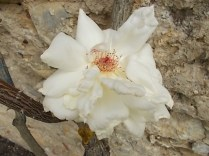 rosa bianca (4)