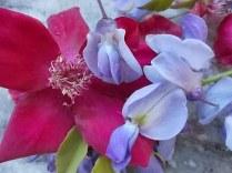 rosella e glicine (13)