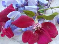 rosella e glicine (4)