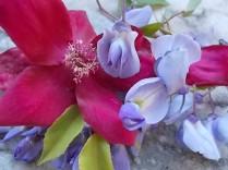 rosella e glicine (7)