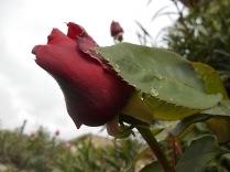 bocciolo di rosa vertine (2)