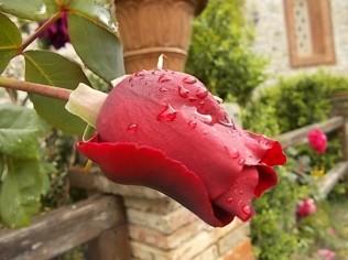 bocciolo di rosa vertine (3)