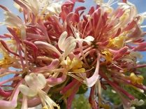 caprifoglio rosa vertine (12)