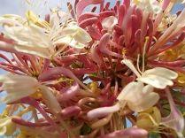 caprifoglio rosa vertine (13)