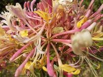 caprifoglio rosa vertine (18)