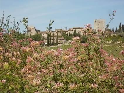 caprifoglio rosa vertine (2)