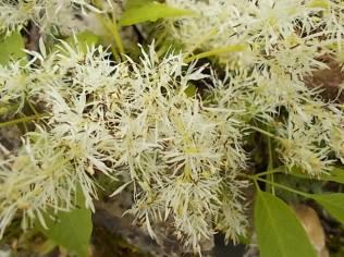 fiore orniello (1)