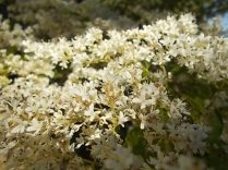 fiori maggio vertine 2020 (10)