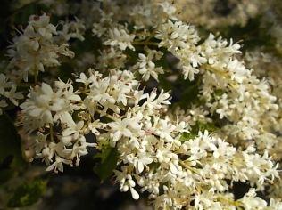 fiori maggio vertine 2020 (12)