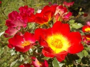 fiori maggio vertine 2020 (13)