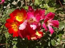 fiori maggio vertine 2020 (14)