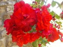 fiori maggio vertine 2020 (15)