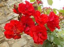 fiori maggio vertine 2020 (3)