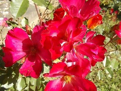 fiori maggio vertine 2020 (4)