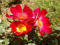 fiori maggio vertine 2020 (9)