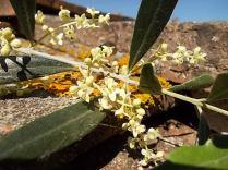 fioritura ulivi vertine 2020 licheni e barca (1)