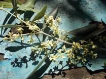 fioritura ulivi vertine 2020 licheni e barca (14)