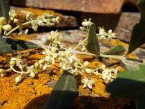 fioritura ulivi vertine 2020 licheni e barca (2)