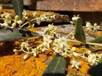 fioritura ulivi vertine 2020 licheni e barca (3)