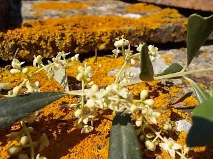 fioritura ulivi vertine 2020 licheni e barca (4)