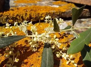 fioritura ulivi vertine 2020 licheni e barca (5)