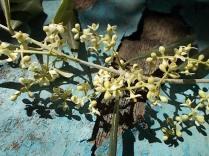 fioritura ulivi vertine 2020 licheni e barca (6)