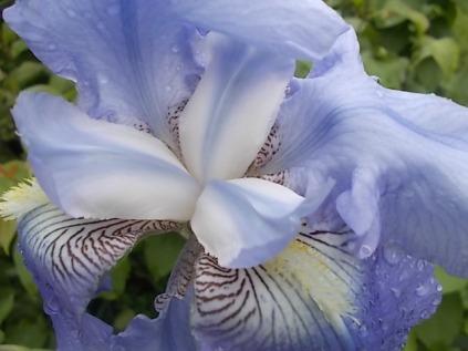 iris giaggiolo (1)