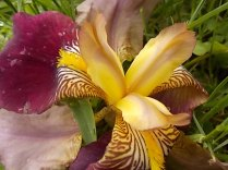 iris giaggiolo viola (2)